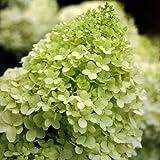 """Proven Winners Limelight Hydrangea Bush – 4"""" Pot – Hardy – Heavy – Perennial – Ea 1 by Growers Solution"""