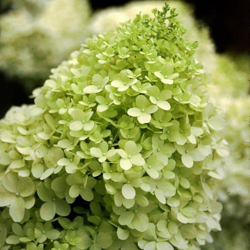 Proven Winners Limelight Hydrangea Bush – 4