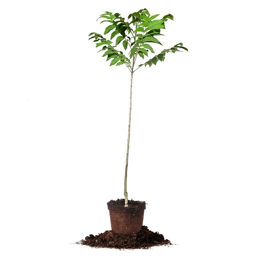 STUART PECAN TREE - Size:  5 Gallon, live plant, includes special blend fertilizer & planting guide