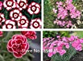 Rare Hardy Perennial Dianthus 'Crimson Rim' Carnation Flower Seeds, Professional Pack, 50 Seeds / Pack, Fragrant Flower Bonsai S