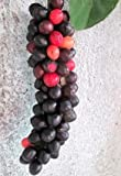10 Seeds of Salamander Tree TRN675 (Antidesma Bunius)