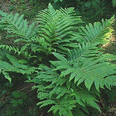 Marginal Wood Fern 200 Spores : Garden & Outdoor