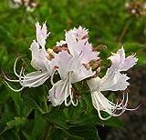 Berchemia Discolor - Bird Plum Mountain Date - Rare Tropical Tree Seeds (5)