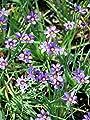 Perennial Farm Marketplace Sisyrinchium a. 'Lucerne' ((Blue-Eyed Grass) Perennial, 1 Quart, Bluish Flowers