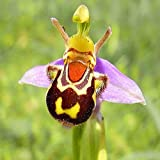 SimingD Smiley Bee Orchid Flower Seed,Perennial Ornamental Orchid Flower Seeds for Flower Pot Planters Home Garden Yard Decor 20pcs