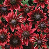 30+ Rudbeckia Cherry Brandy Flower Seeds /Perennial