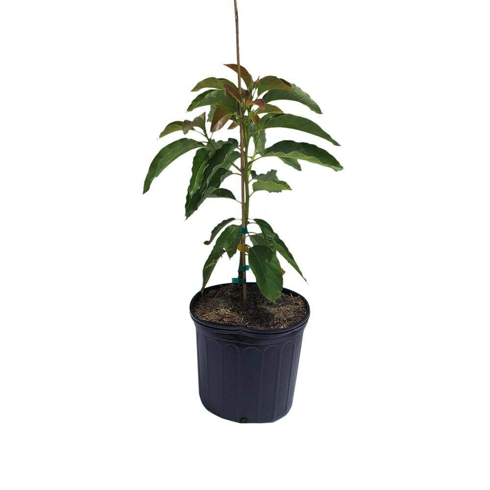 Monroe Avocado Tree Cold Hardy, Grafted, 3 Gal Container from Florida