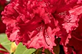 3 Rhododendron'Red Jack' in 9cm Pots, Stunning Ruby-Red Flowers 3fatpigs
