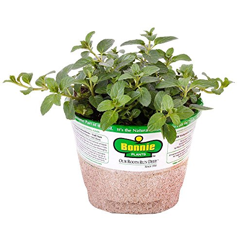 Bonnie Plants 5108 Peppermint Herb Plant