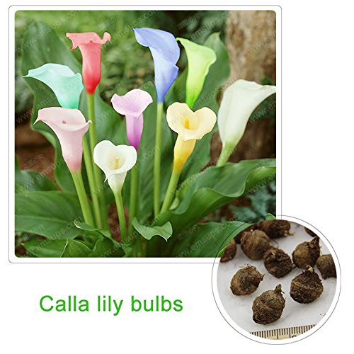 Calla Lily Garden (20 pcs Rare Rainbow Calla Lily Bulbs Potted Balcony Plant Calla Bulbs Indoor Air)