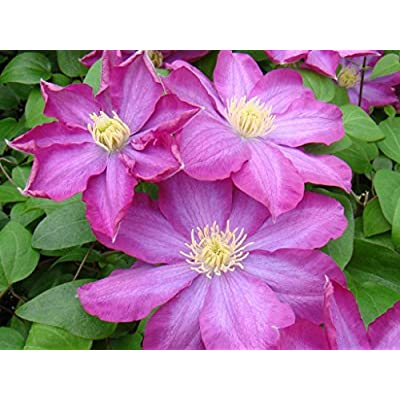 1 Root Clematis, Pink Champagne, (Bare Root/rhizome), -flowered Vine, Now Shipping ! : Garden & Outdoor