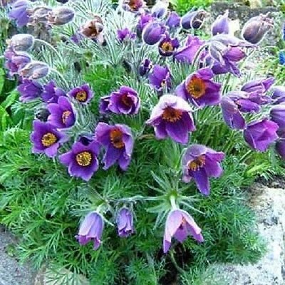 Pasque Flower Pulsatilla Violet 50 Seeds : Garden & Outdoor