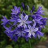 2 Agapanthus Root Bulb Blue Color Flower Perennial Summer