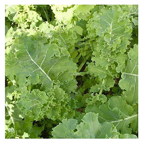 David's Garden Seeds Kale Siberian EB112KAL (Green) 200 Non-GMO, Heirloom, Organic ()