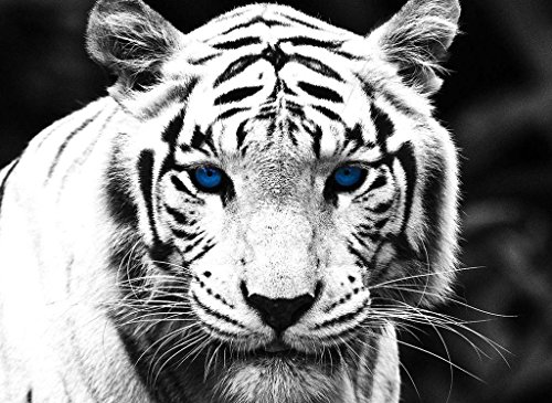 Blue Black Tiger - PigBangbang,Handmade 20.6 X 15.1'' Premium Basswood Bright Colorful 500 Piece Jigsaw Puzzle for Adult in Box Can Be Mural Home Decoration-White Black Tiger with Blue Eyes