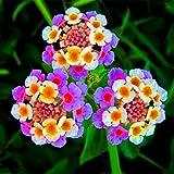 New arrival!!!100 pcs/lot Lantana camara flower seeds,Rare Perennial Herb Gorgeous Bonsai Tree Plant For Home Garden potted seed