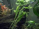 Lacy Java Fern (aka Windelov) – 2 Bunches - Live Aquarium Plant by Aquatic Arts - 6 to 8 inches Tall