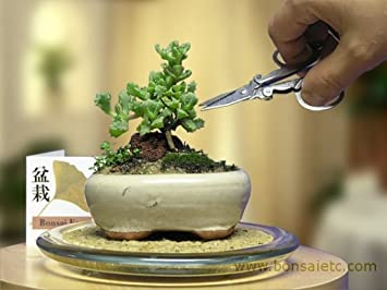 office bonsai. Mini Indoor Bonsai Tree For Home Or Office Desk By HooTee O