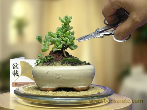 amazoncom mini indoor bonsai tree for home or office desk by hootee ice plant plants grocery gourmet food bonsai tree office