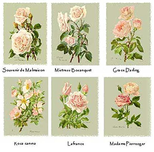 Fry Rose - Vintage Friese's Roses Note Cards - Botanical Print Collection