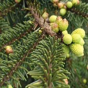 Picea aureo spicata - 1 unidad - 4Litros