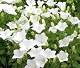 BELLFLOWER TUSSOCK WHITE Campanula Carpatica - 100 Seeds