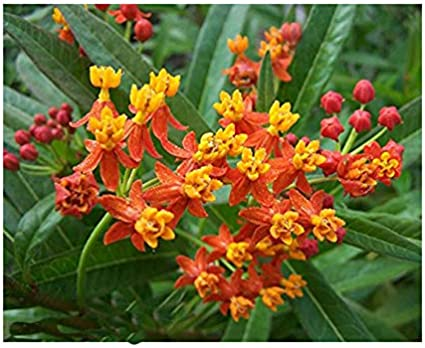 100 Yellow Tropical Milkweed Seeds for Monarch Butterfly Garden