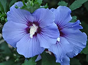 Rose of Sharon Seeds - BLUE BIRD - Hardy Perennial Shrub - Huge Blooms - 25 Seeds