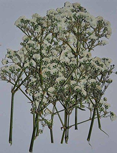 Amazon lovediylife white flower with branch real pressed dried lovediylife white flower with branch real pressed dried flowers mightylinksfo
