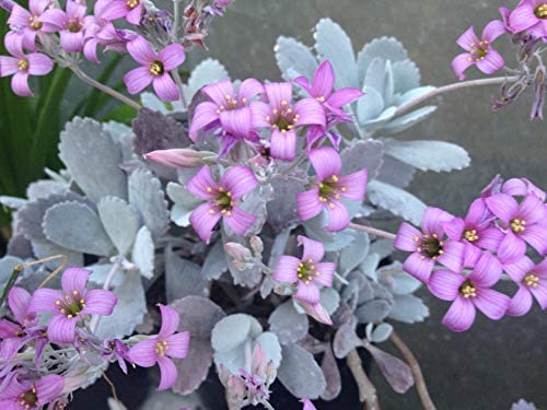 KALANCHOE PUMILA Silver LEAVED Pink Flowered Succulent in 7CM Pot