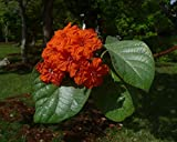 Geiger Tree Geranium Tree Cordia sebestena 10 Seeds