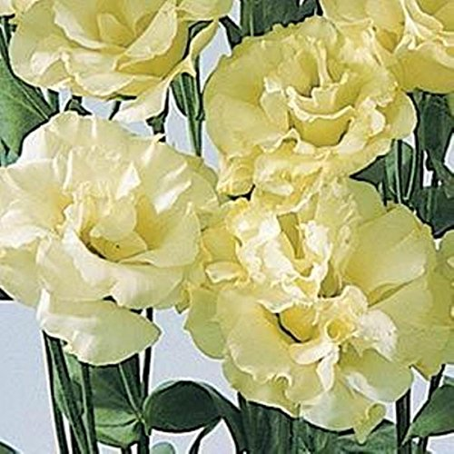 ABC 2-4 YELLOW LISIANTHUS 25 SEEDS THESE BEAUTIES MAKE LONG LASTING CUT -