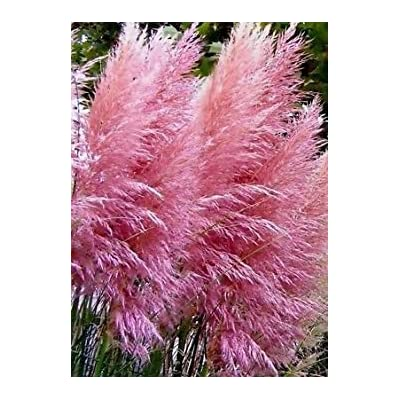"Shopvise 20 Ornamental Perennial Grass Seed - Pampas Grass -""Pink"" Tall Feathery Blooms : Garden & Outdoor"