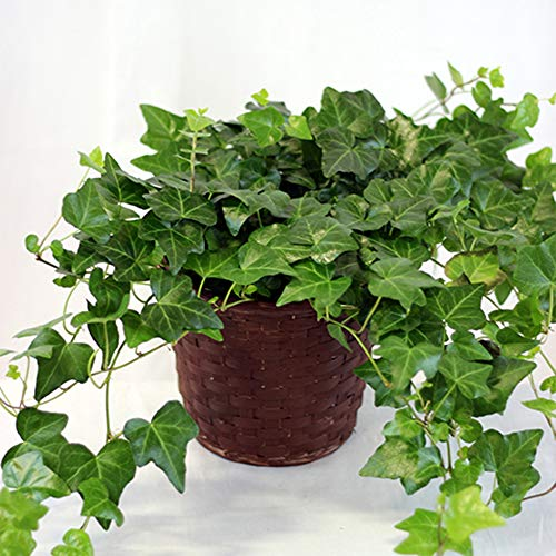 AMERICAN PLANT EXCHANGE Easy Care English Ivy Large Leaf Trailing Vine Live Plant 6'' 1 Gallon Top Indoor Air Purifier! by AMERICAN PLANT EXCHANGE (Image #1)