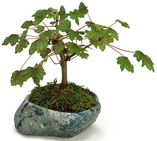 Natural Elements Rock Planter (Boulder) – Realistic woodland-themed with intricate stone detail + Fiber Soil + moss mulch. Grow succulents, cactus, African Violets and bonsai. Striking in any décor.