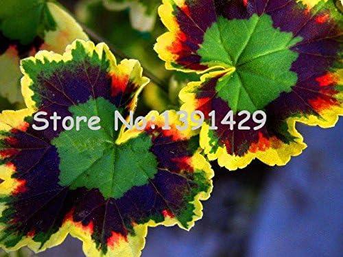 jefe locas 100 unidades semillas de geranio raras, abigarrado geranio en maceta de flores jardín de invierno, bonsai planta en maceta de flores: Amazon.es: Jardín