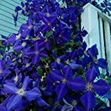 Cicitar Garden - Rare 50pcs Clematis Climbing Plants Evergreen, Country Garden Classic, Woodland Vine Hardy Perennial Flower Seeds for terraces, pergolas or conservatories
