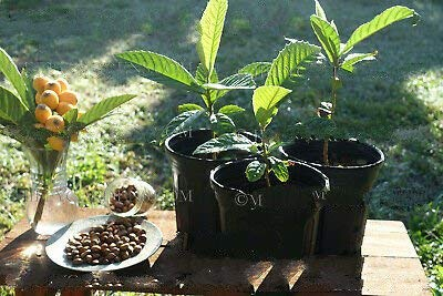 1 Loquat Fruit Tree Live Trees (Eriobotrya Japonica) 4