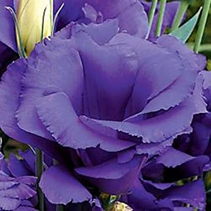 Amazon Cinderella Series Lisianthus 25 Seed Only The Best When