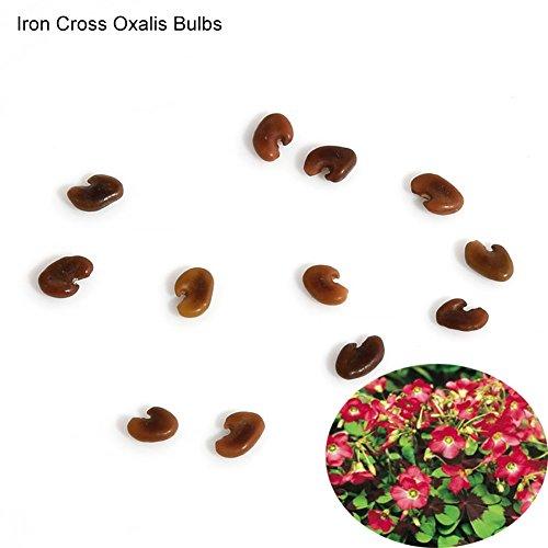 Potato001 10 Pcs Shamrock Oxalis Triangularis Bulbs Easy to Plant Leaf Flower Seeds (Iron Cross Oxalis Bulbs)