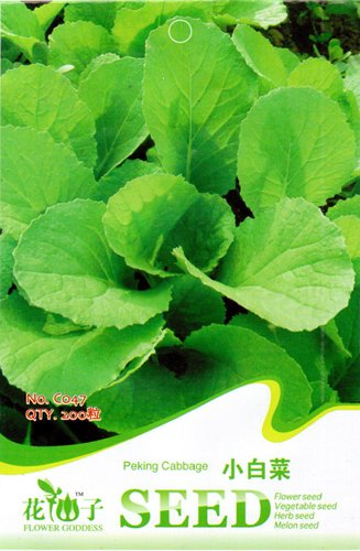 Amazon.com : Peking Cabbage Seeds Delicious Cute Easy to Grow Green ...