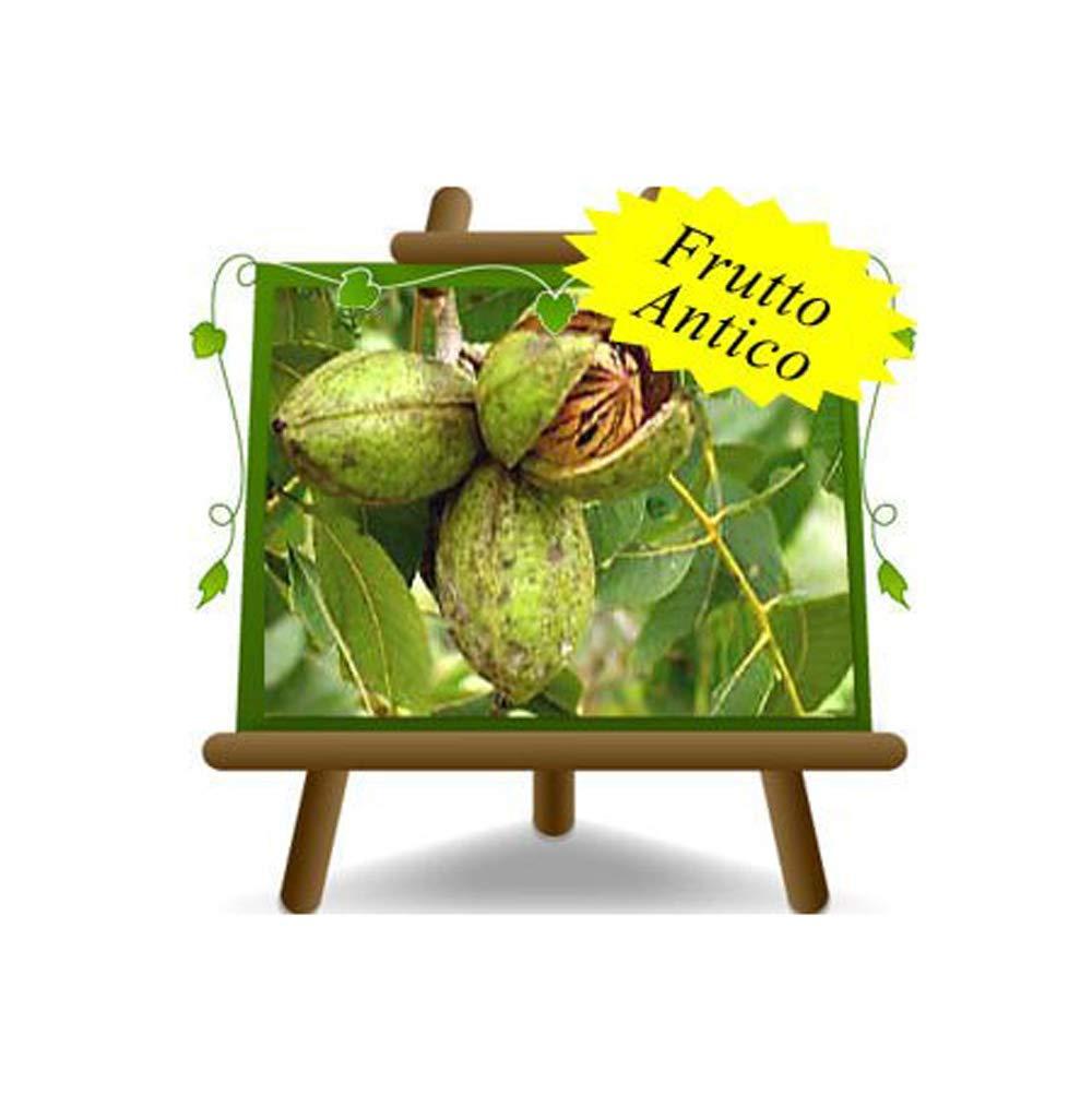 Noce Pecan Wichita – Pianta da frutto antico portainnesto franco su vaso da 20 - albero max 90 cm - 2 anni EuroPlants Vivai