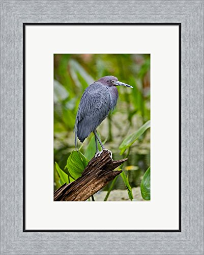 Little Blue Heron, Corkscrew Swamp Sanctuary, Florida by Adam Jones / Danita Delimont Framed Art Print Wall Picture, Flat Silver Frame, 16 x 20 inches - Pictures Great Blue Herons