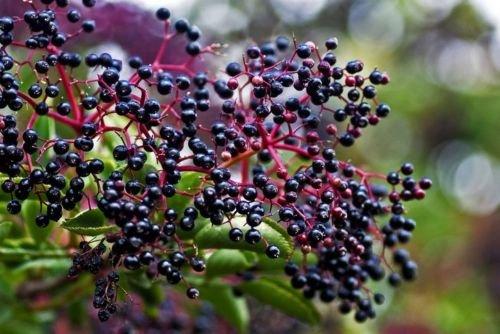Elderberry Bush - Flowering/Fruit Shrub Established - 1 Plant in 2 Gallon Pot