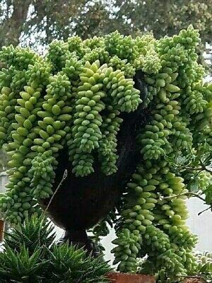 Donkey Tail Succulents 12 Pieces Large Cuttings Rare MHWK43 by MHWK43 (Image #1)