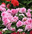 Impatiens Pink Busy Lizzie balsam Patient Lucy Double Flower 10 Seeds