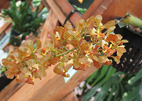 Oncidium truncatum from Brazil : Orchid