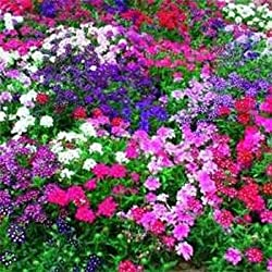 Outsidepride Verbena Mix - 1000 Seeds
