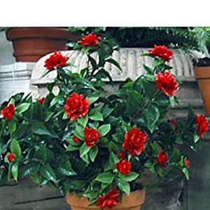 "SilksAreForever 28"" UV-Proof Outdoor Artificial Gardenia Flower Bush -Red (Pack of 2) 59"