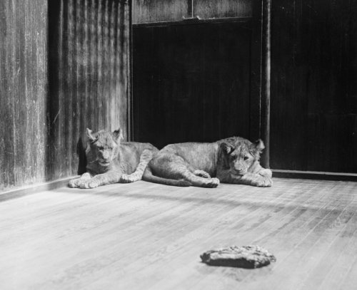 1927 photo Coolidge lion cubs, a gift from Africa, 4/27/27 Vintage Black & Wh d5 by Historic Photos
